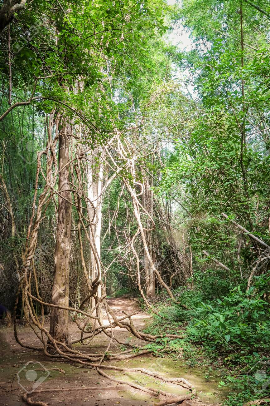 Tangled Lianas In The Jungle Stock Photo Picture And Royalty Free Image Image 82100171
