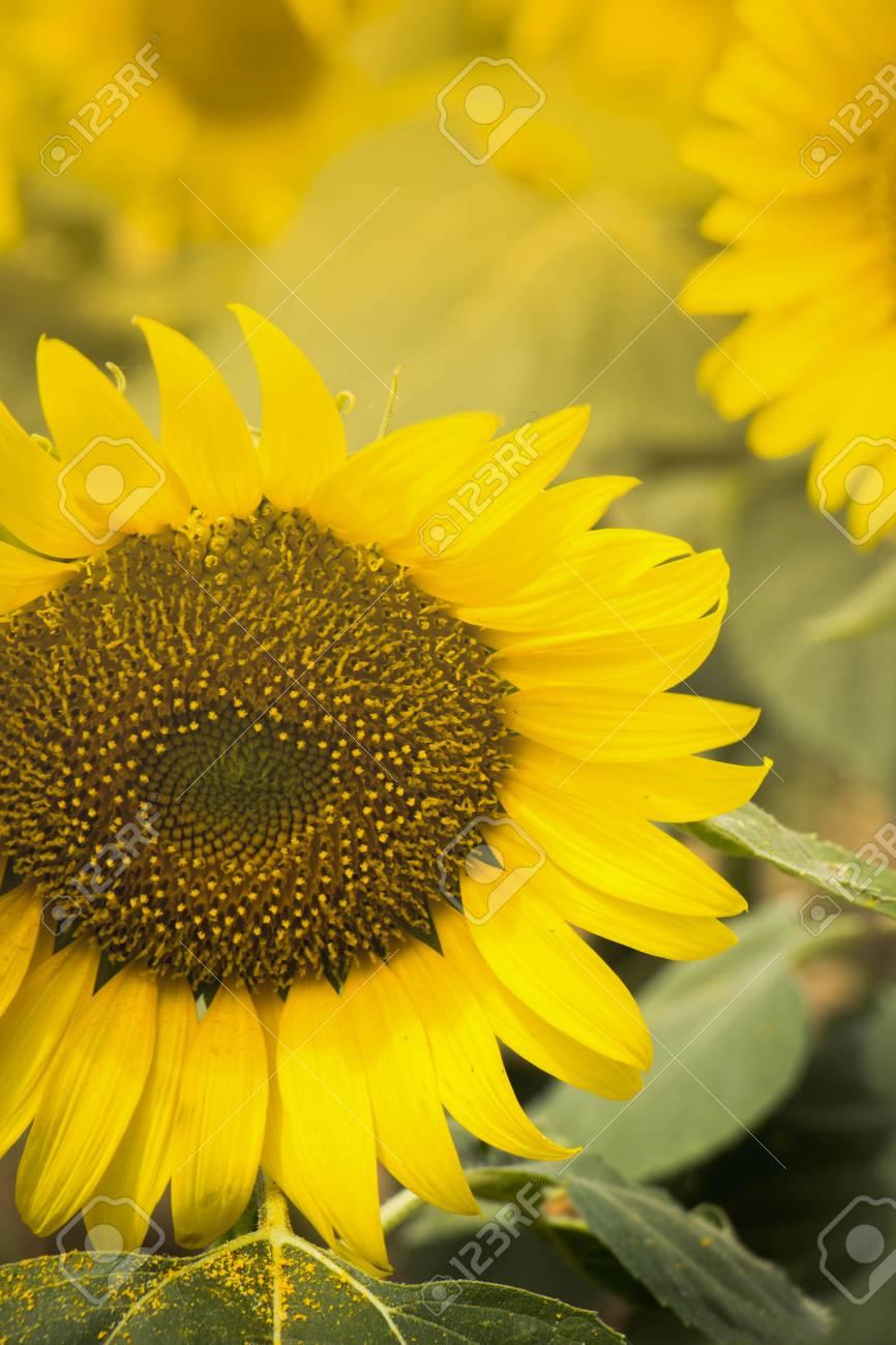 15. ...Sunflower garden picture
