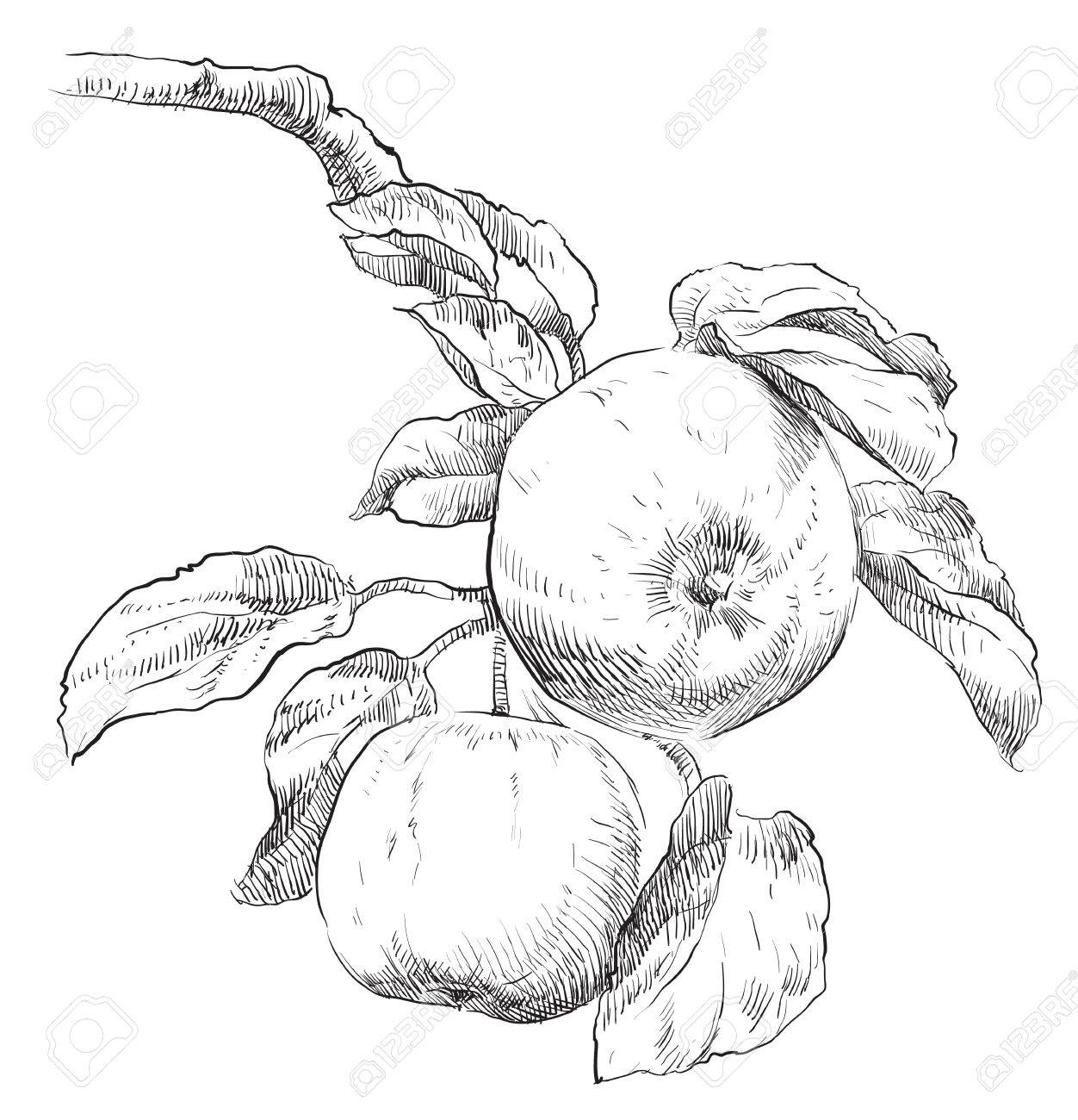 hand drawing apple on apple tree branch royalty free cliparts Johnny Appleseed hand drawing apple on apple tree branch stock vector 49351969