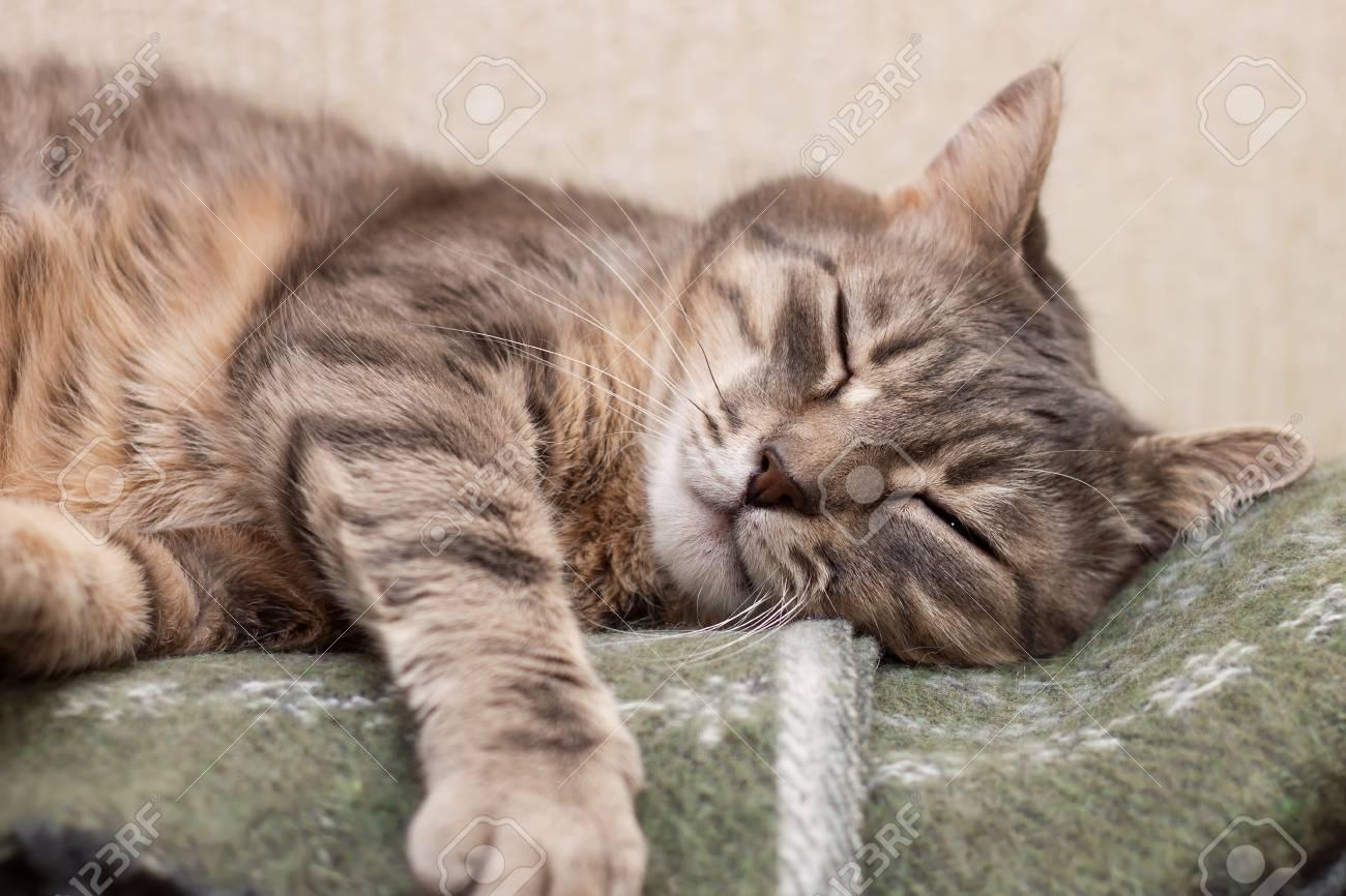 Cute sleeping gray domestic cat closeup portrait Stock Photo - 24904365