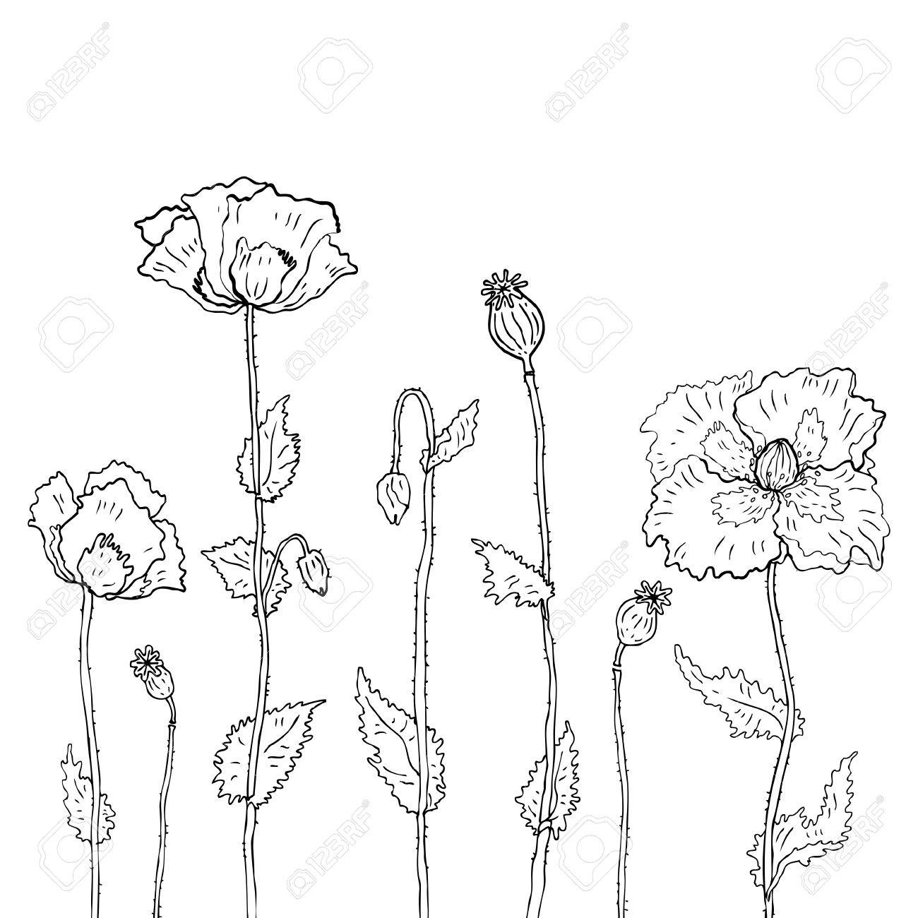 Hand drawn Poppies on white background. Vector illustration Stock Vector - 24028955