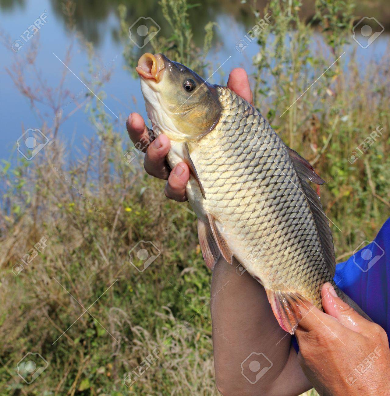 carp in the hand of fisherman against the river Stock Photo - 18086917