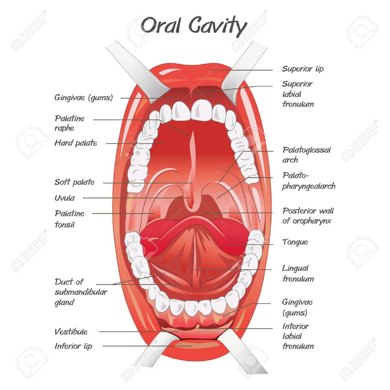 Diagram For Anatomy Of Mouth Royalty Free Cliparts Vectors And