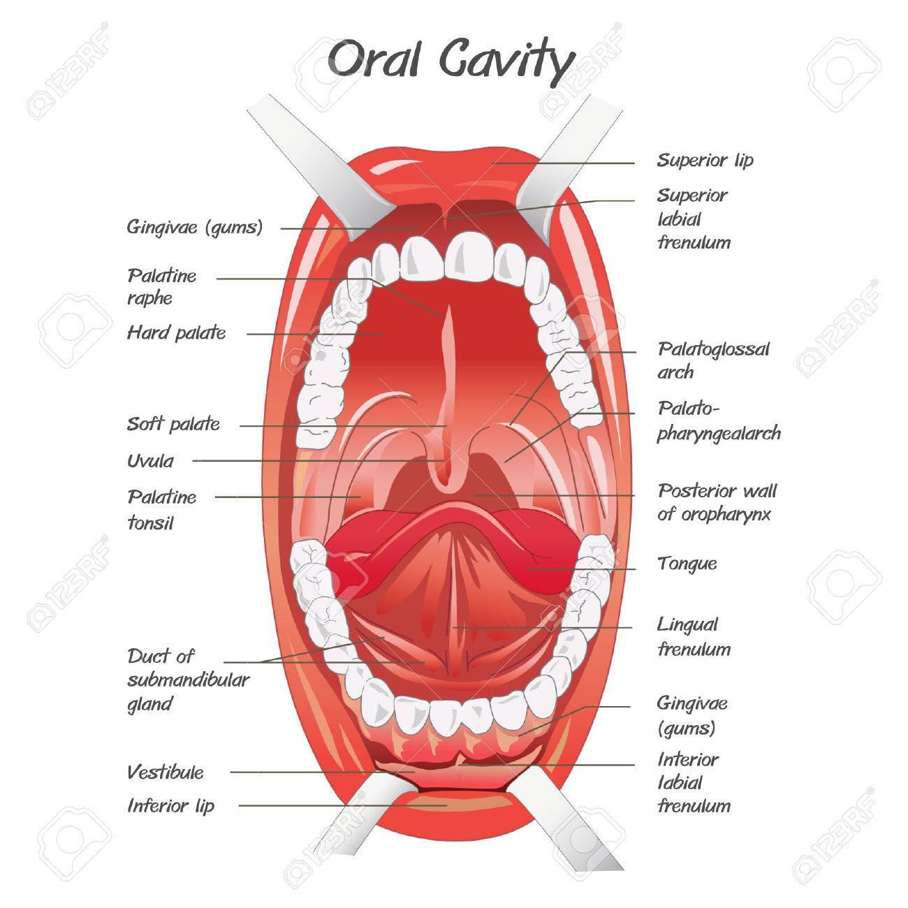 Diagrama Para La Anatomía De La Boca Ilustraciones Vectoriales, Clip ...