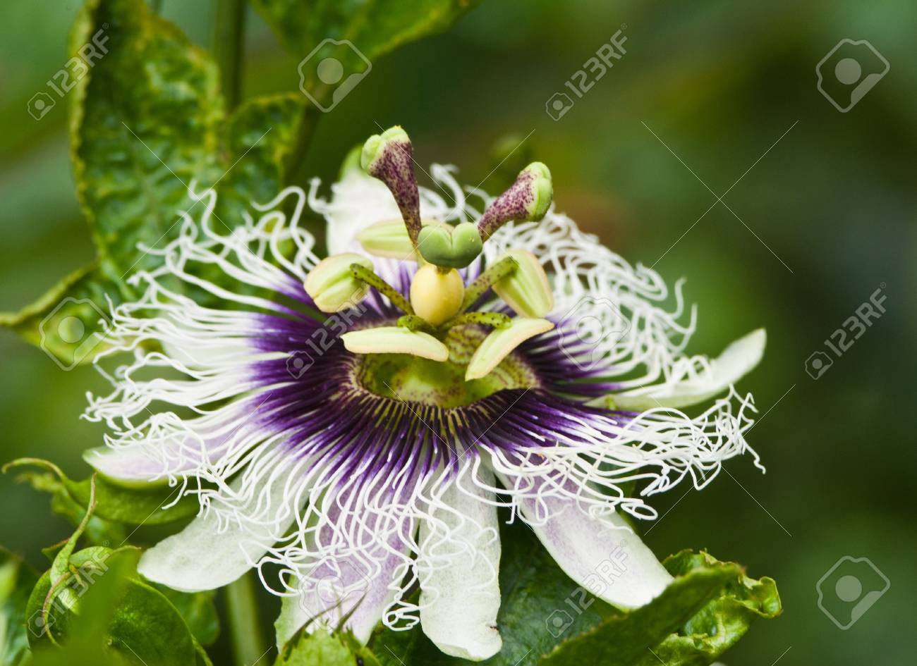 Purple Passion Flower Stock Photo Picture And Royalty Free Image