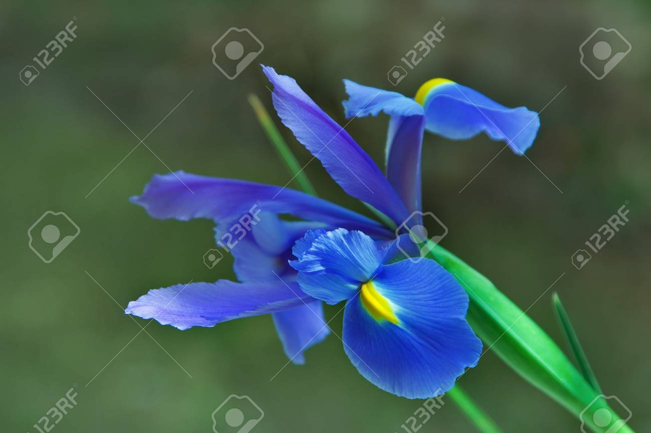 A flower an iris on the dim background in a garden Stock Photo - 2883619