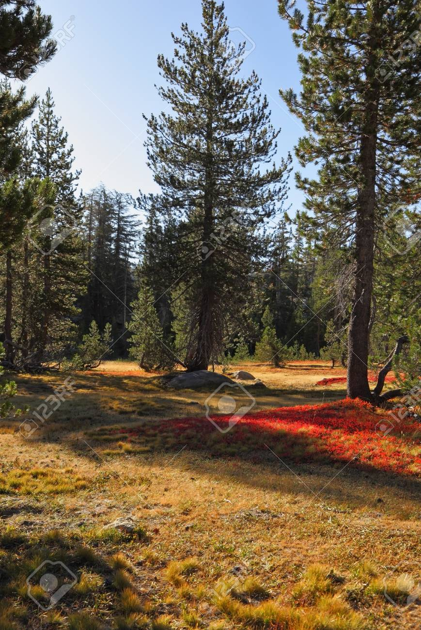 Bright red moss in mountains of national park Yosemite  Clear