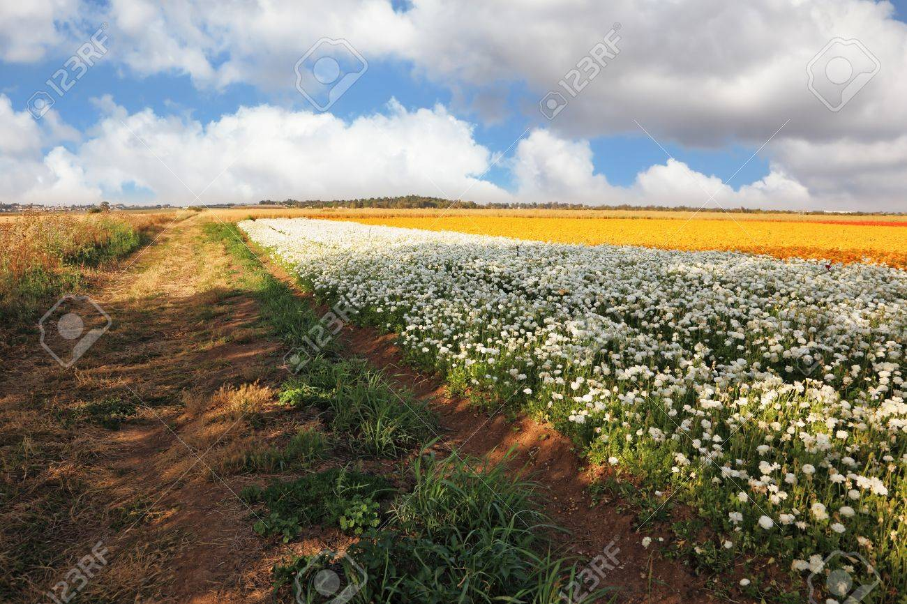 Flower Spring In Israel A Vast Field Of White And Purple Flowers