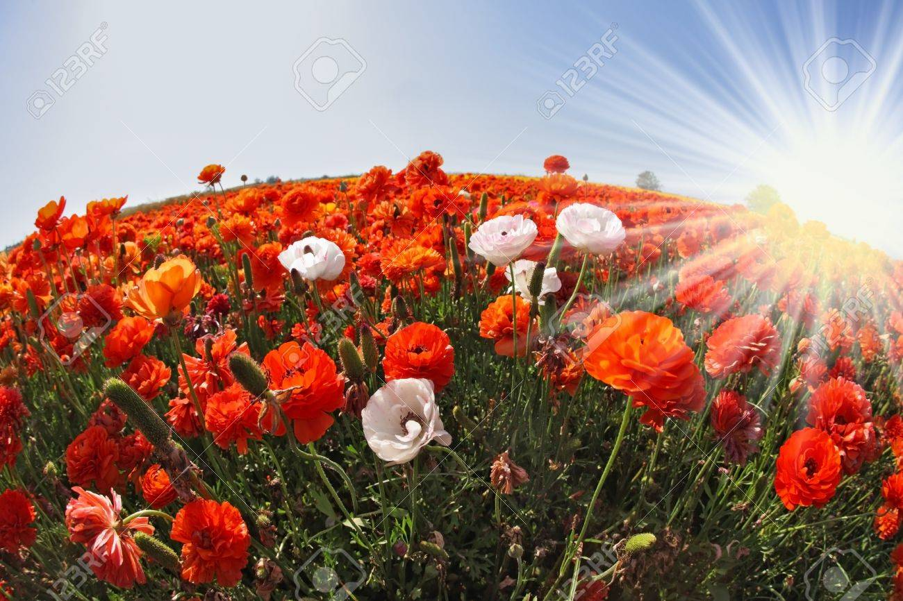 The sparkling sun rays illuminate a large field of blooming orange and white buttercups  Photo taken by lens Fisheye Stock Photo - 17102036