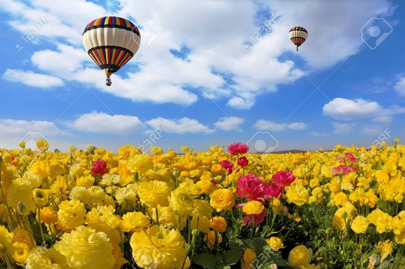 0ad2ac650 Foto de archivo - Pintoresco campo de hermosos ranúnculos amarillos y  rojos. El sol de primavera brilla volar globos multicolores