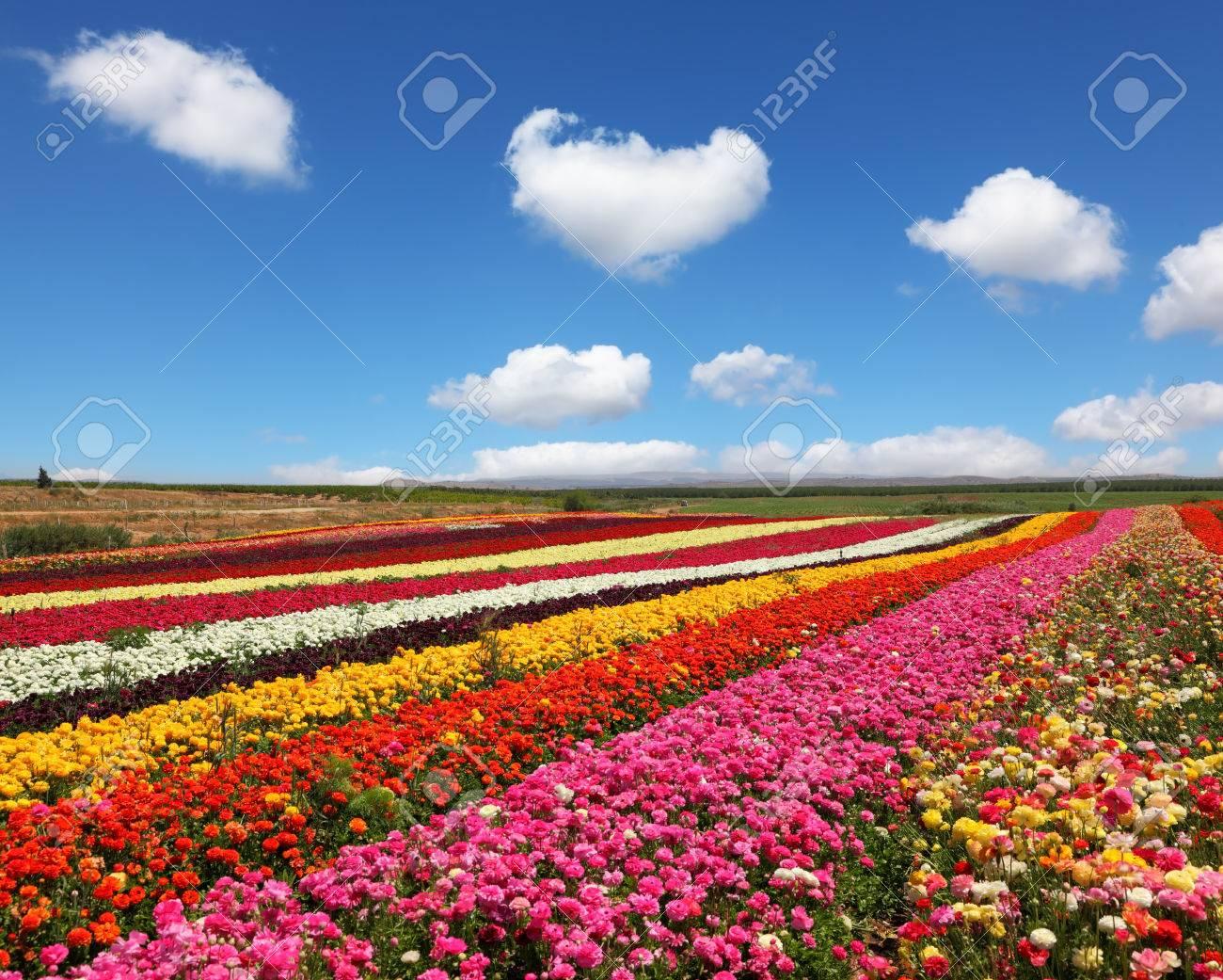 Banque d\u0027images , Blooming renoncules rouges et jaunes au printemps. Les  champs de fleurs énormes