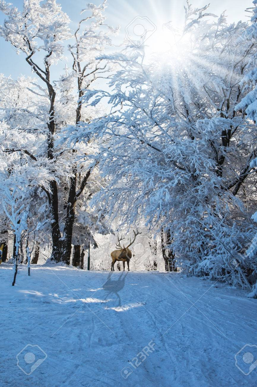 Early morning in forest glade with traces of skis. Red deer antlered went for walk. Christmas forest in the snow - 50247214