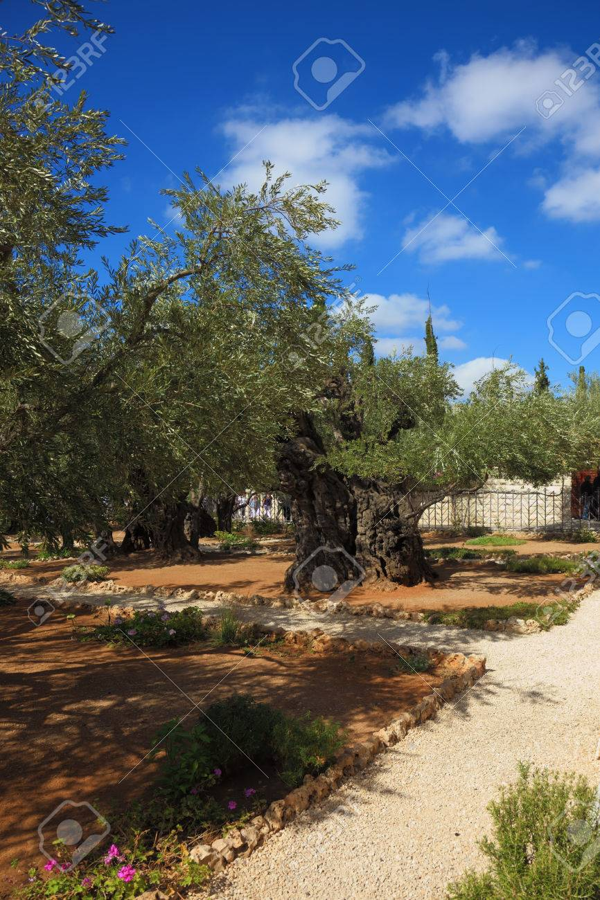 The Path Between The Old Olive Trees In The Garden Of Gethsemane ...