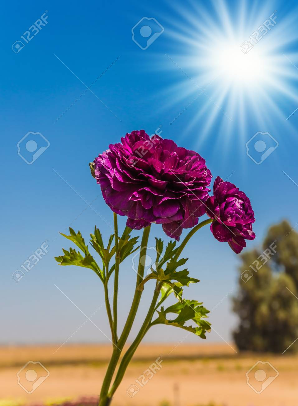 The spring sun illuminates a beautiful flowers adorable garden stock photo the spring sun illuminates a beautiful flowers adorable garden purple buttercups on a warm sea background izmirmasajfo