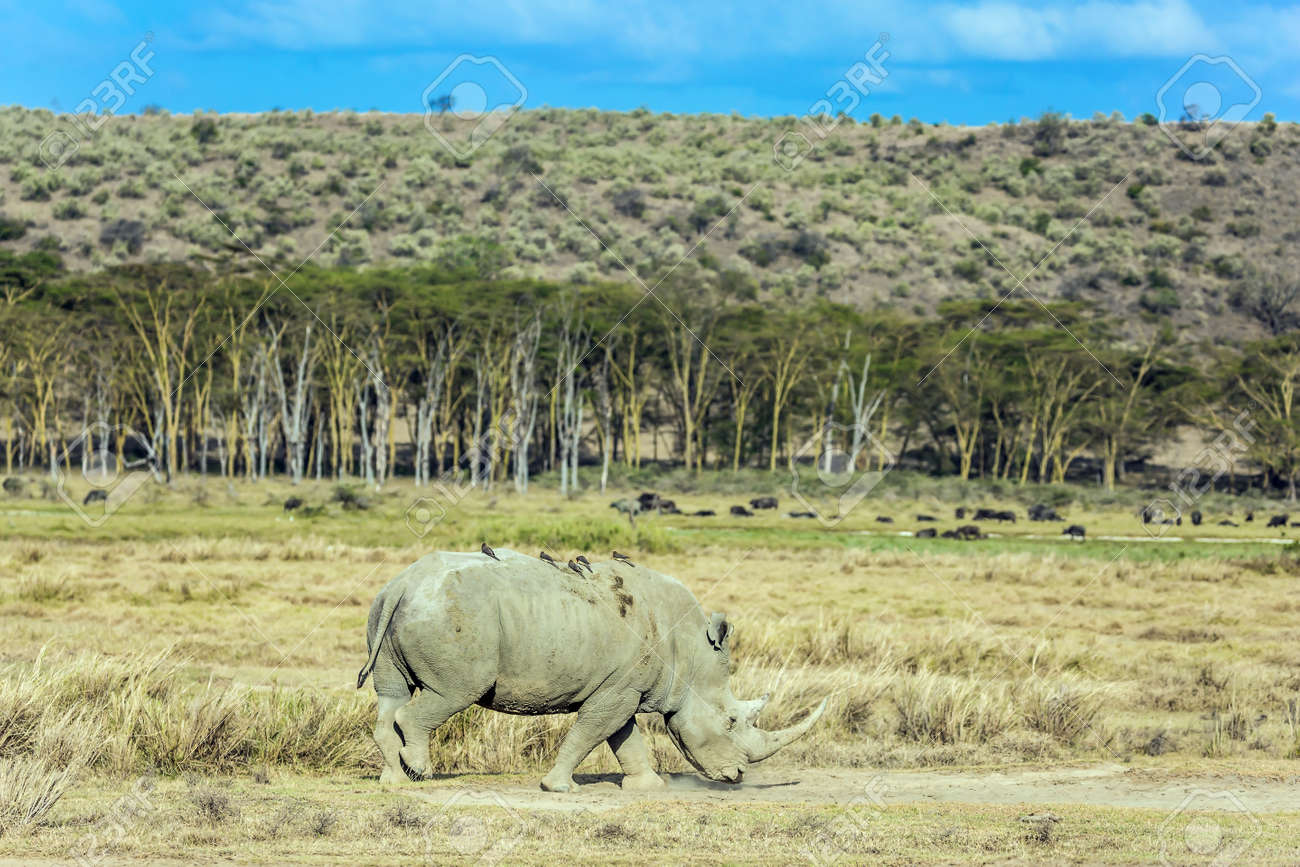 Kenia. Lonely rhino grazing in the grass. Birds live on the skin of a rhino. Symbiosis of animals. African savannah on the shores of Lake Nakuru. The famous African Big Five. - 163573534