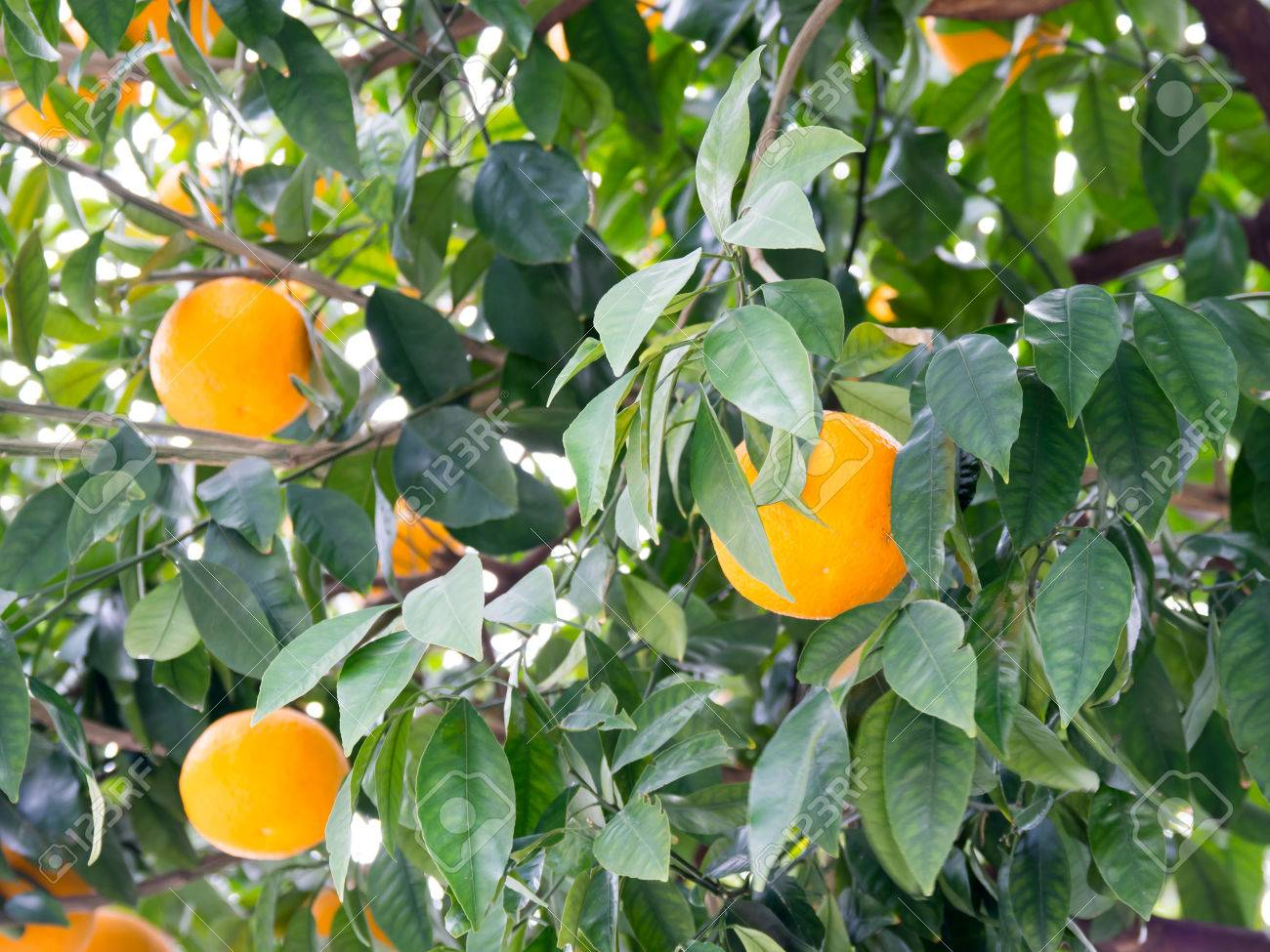 The Fruit Bearing Tree Stock Photo Picture And Royalty Free Image