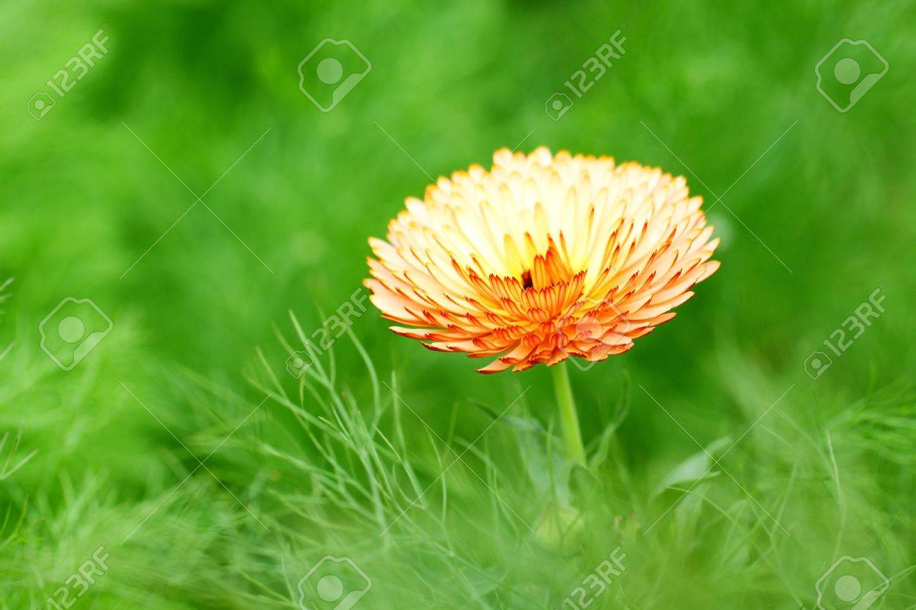 Orange spring flower Stock Photo - 12685349