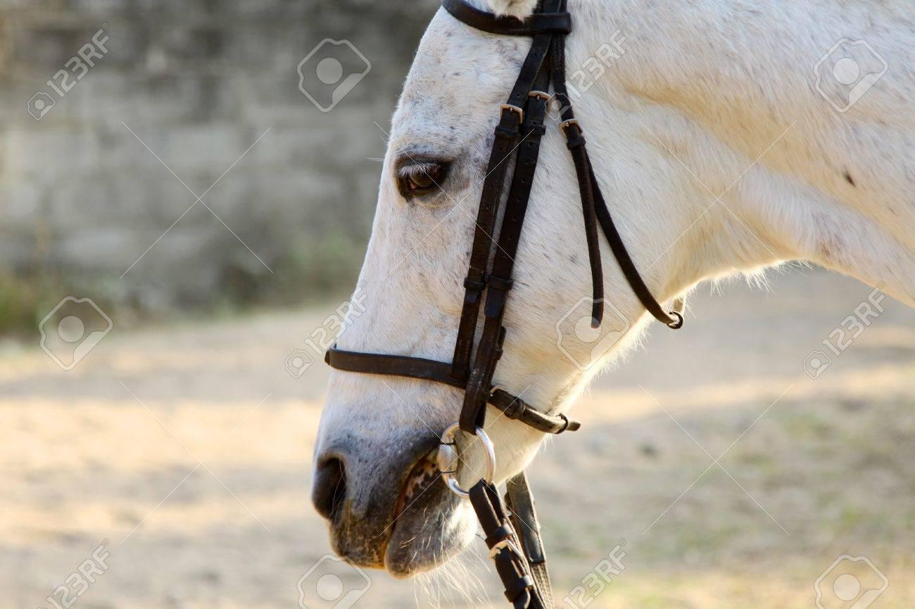 White horse close-up Stock Photo - 12739943