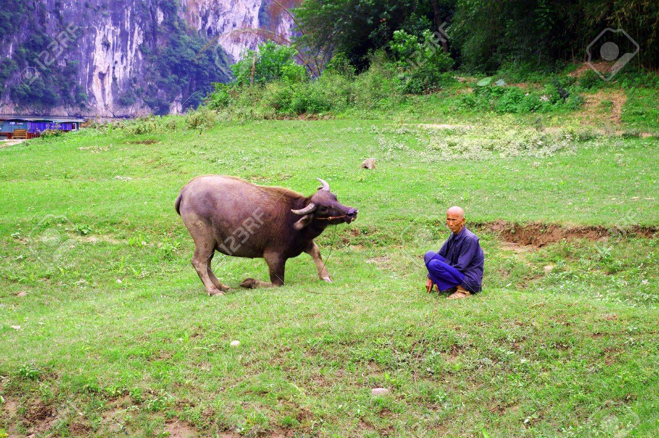 CHINA - MAY 17, He is a traditional farmer with his cow in Yangshuo, China on 17 May, 2010.  Stock Photo - 12935897