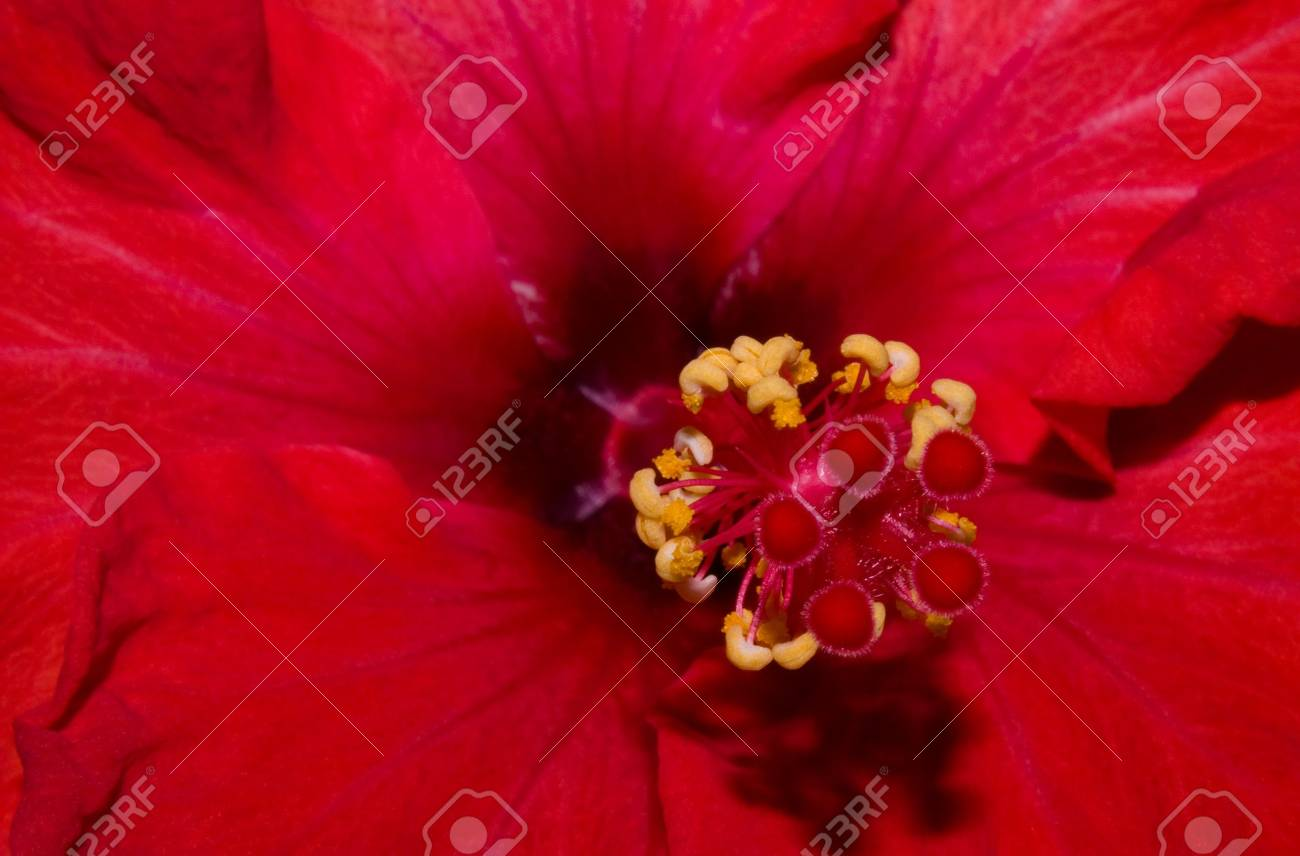 extreme close up of a red hibiscus with stamen visible Stock Photo - 3598775