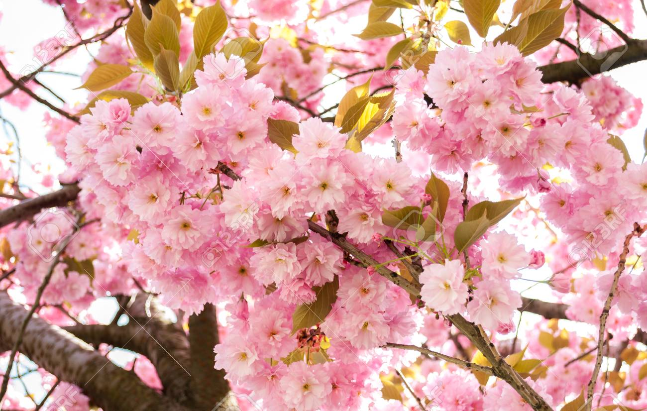 Japanese Tree With Pink Flowers Stock Photo Picture And Royalty