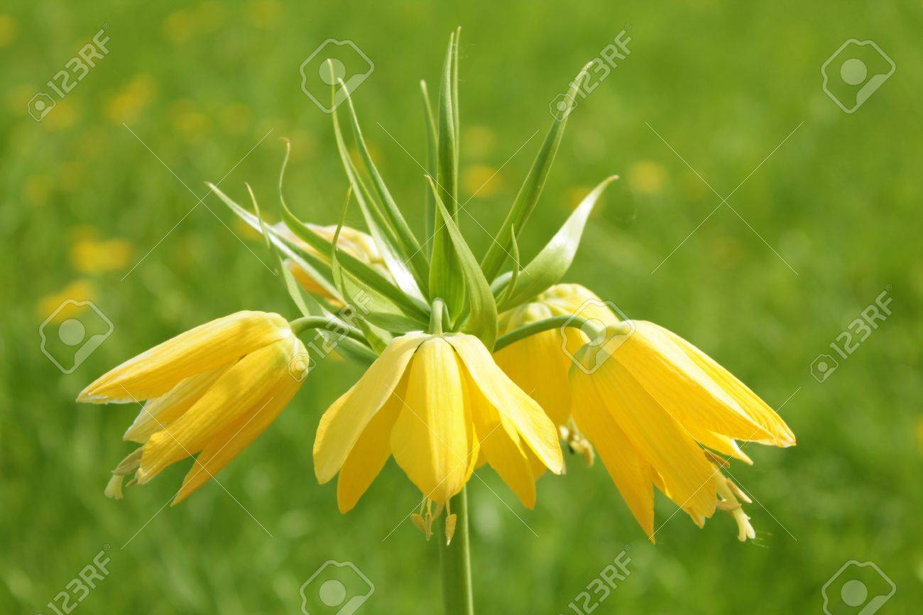 Yellow Crown Imperial Flower Fritillaria Imperialis Stock Photo
