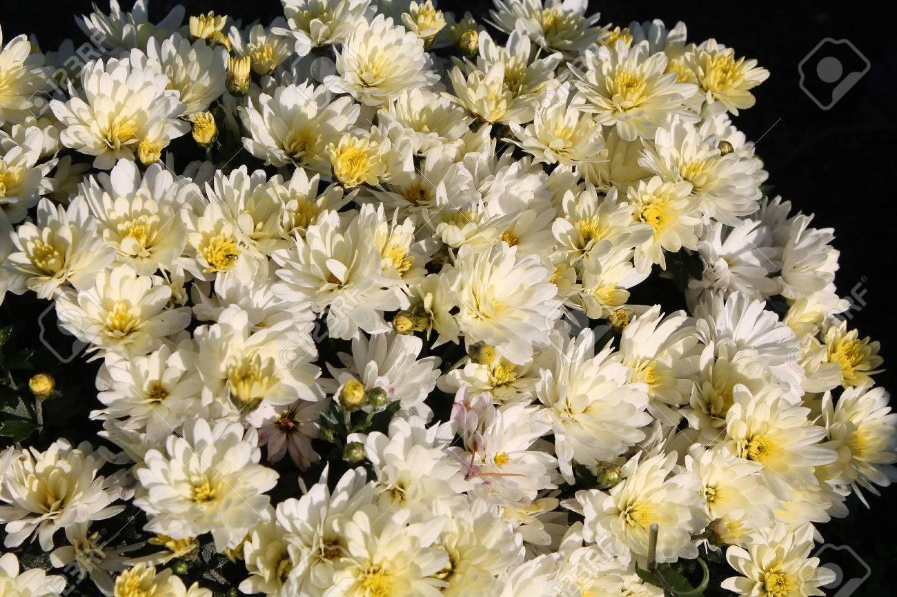 White chrysanthemums white garden flowers stock photo picture and stock photo white chrysanthemums white garden flowers mightylinksfo