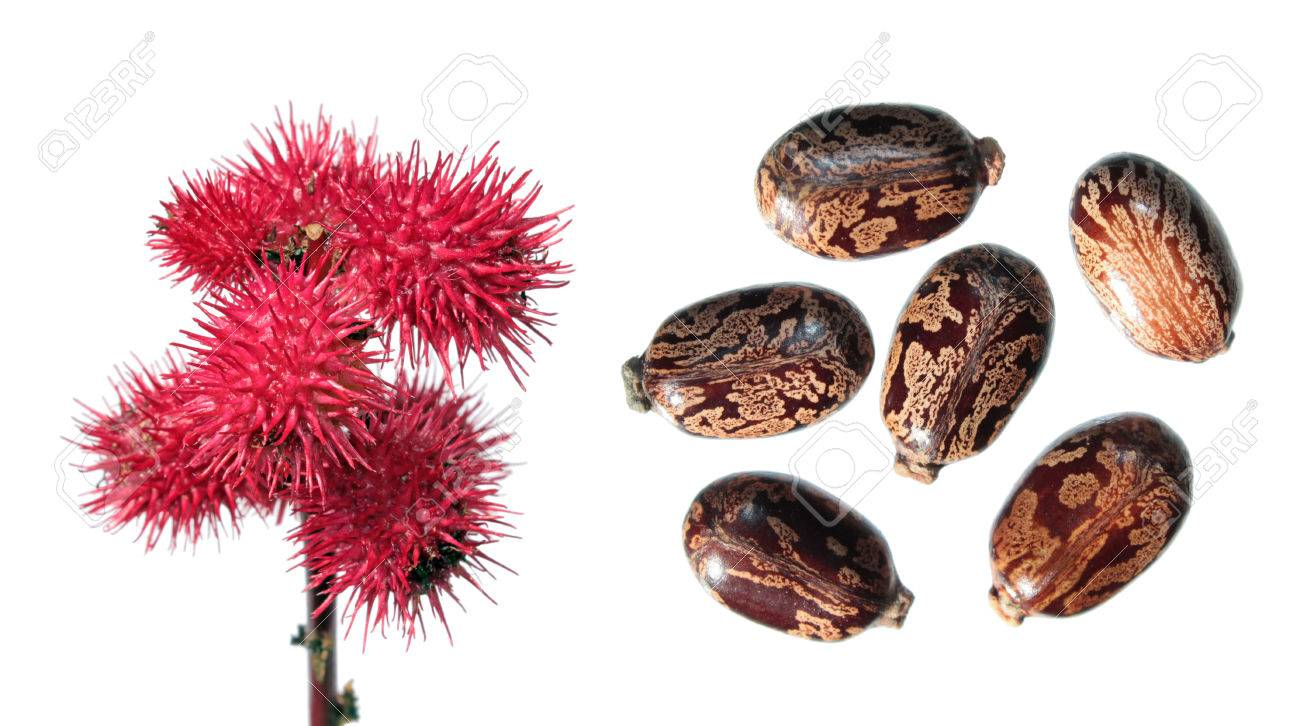 red fruits of ricinus isolated on white seeds of castor bean