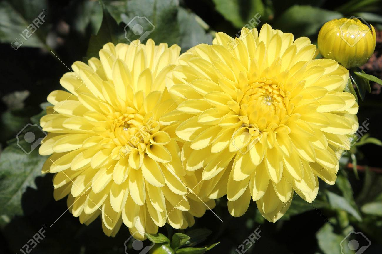 Flowers Of Yellow Dahlia Stock Photo Picture And Royalty Free