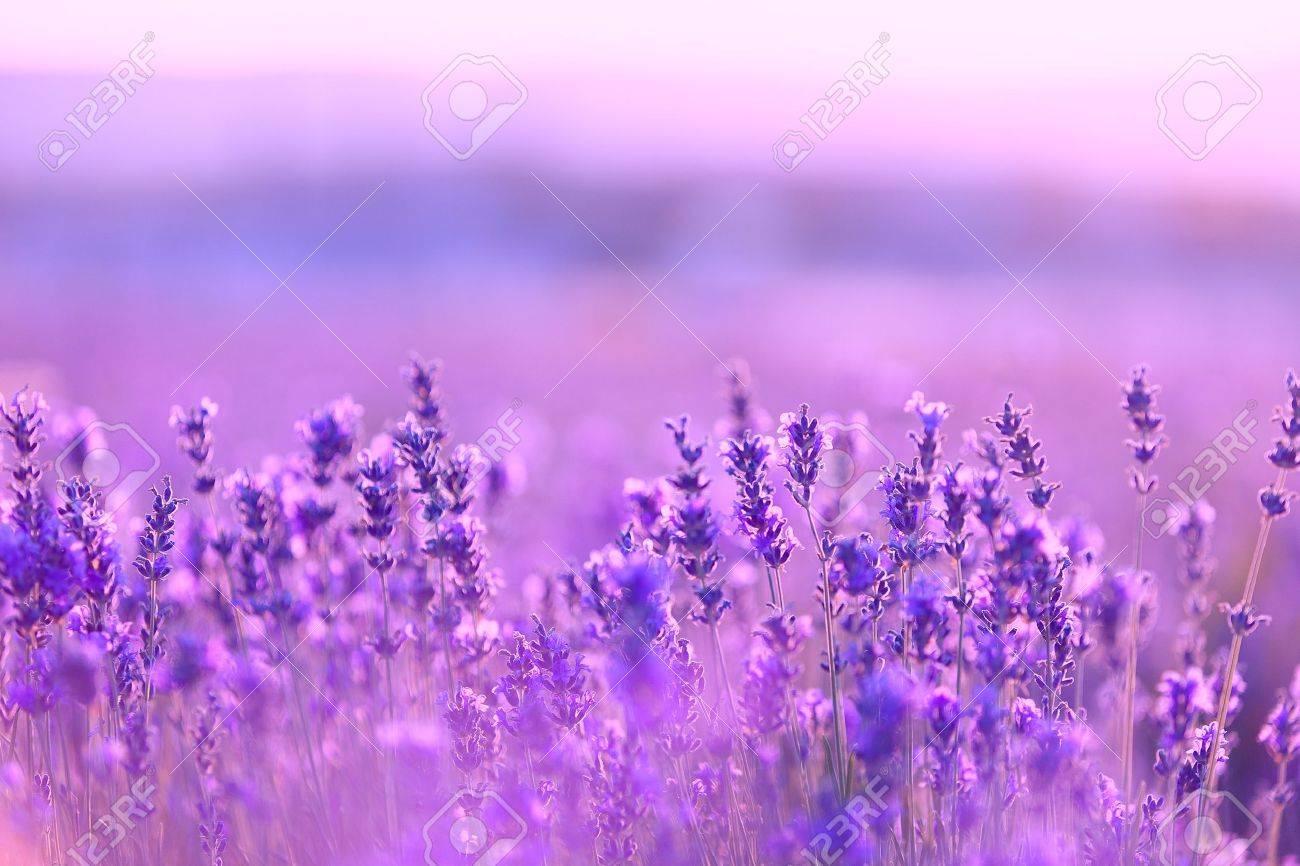 Lavender flowers - 20752876