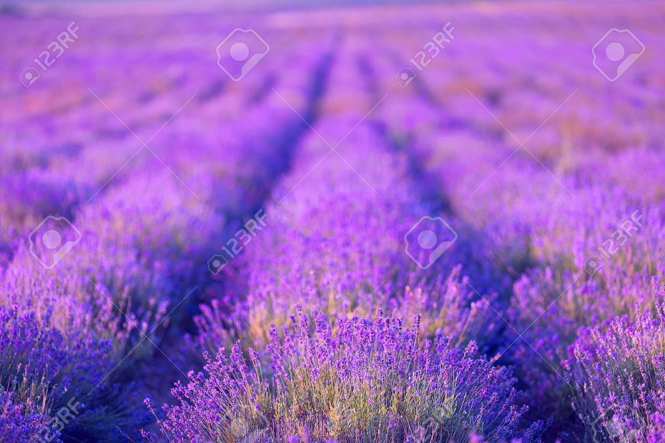 Lavender flowers - 20752877