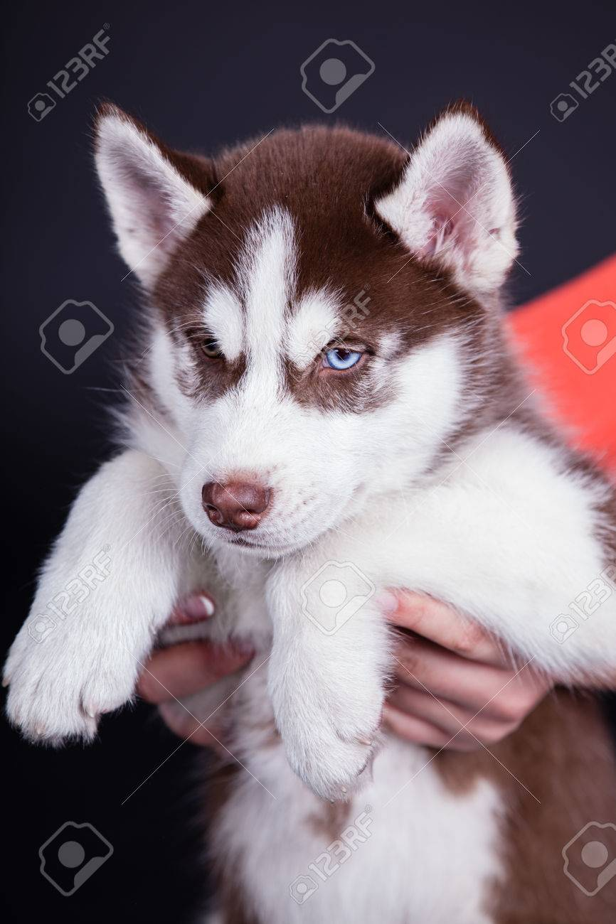 Husky Dog Puppy One Month Old In A Basket Over Black Background Stock Photo Picture And Royalty Free Image Image 24263189