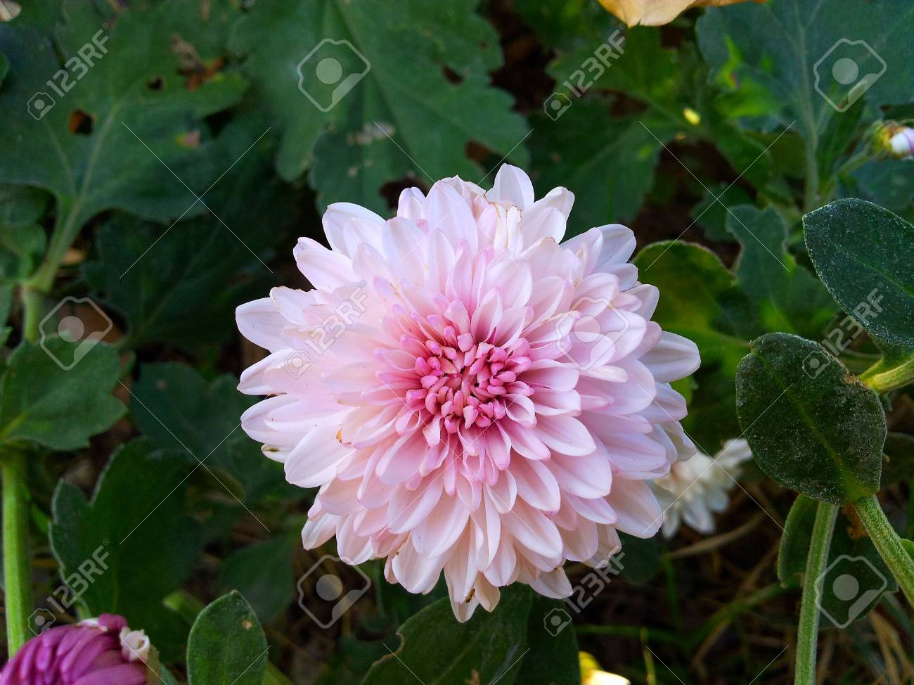 Chrysanthemum Stock Photo - 17117197