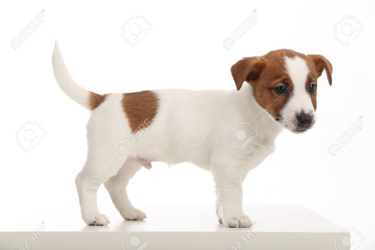 Popular Animals Jack Russell Puppies British Dog Breeds Human S Stock Photo Picture And Royalty Free Image Image 89513264
