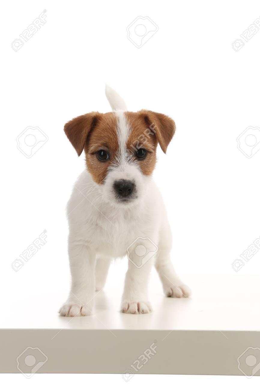 Populare Tiere Jack Russell Welpen Britische Hunderassen Der