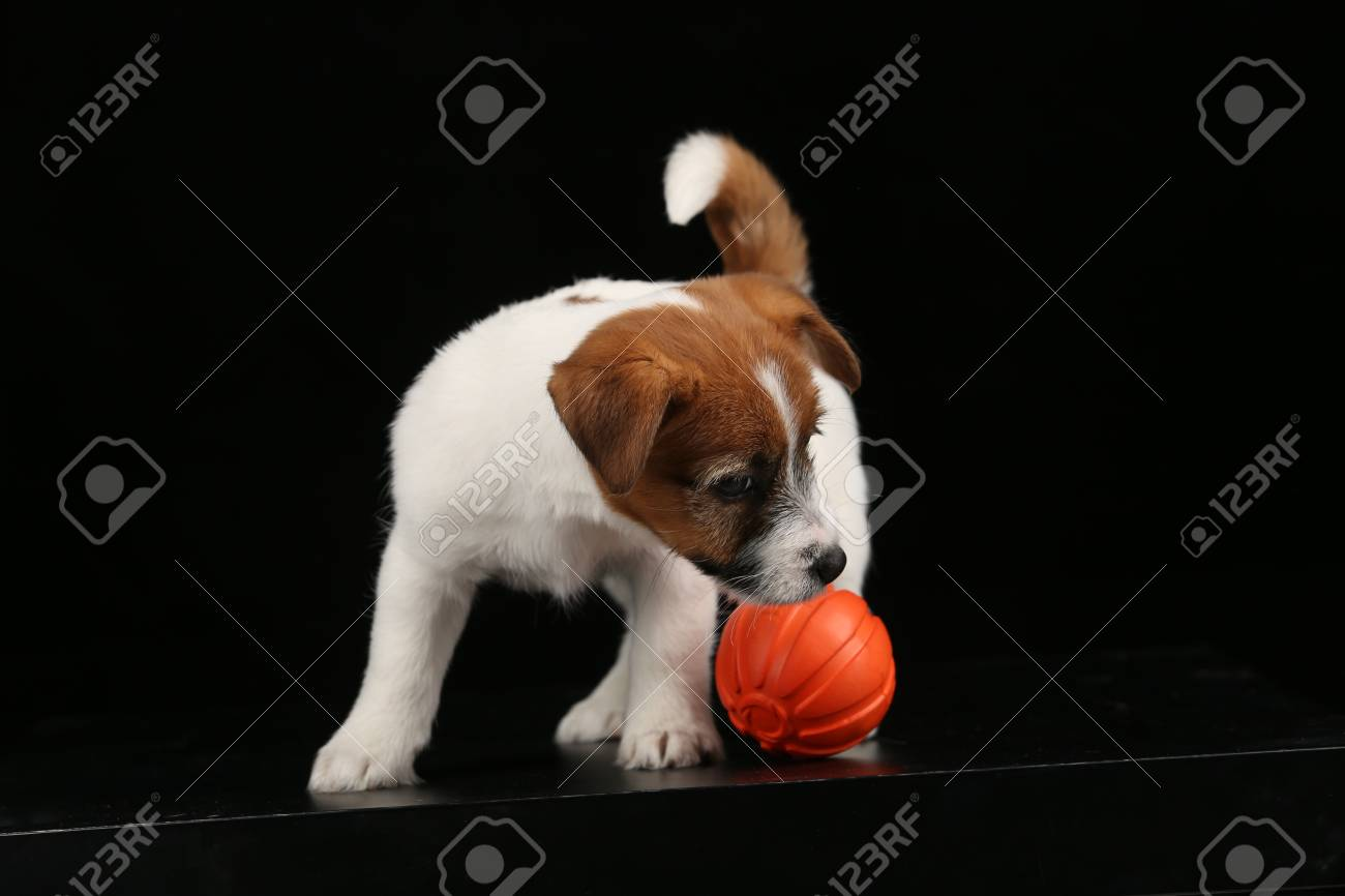 Puppy of jack russell terrier playing with a toy