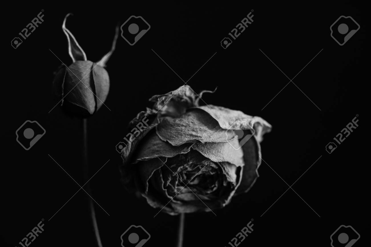 35b5a6b80 Two Roses In Black And White Stock Photo, Picture And Royalty Free ...