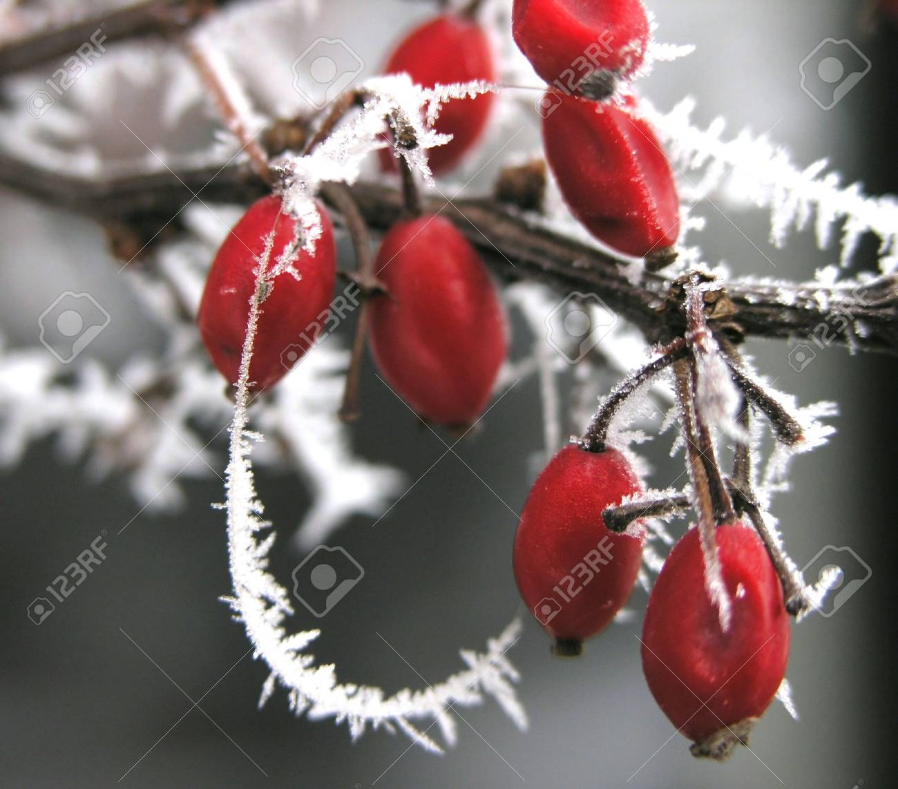 hoarfrosted berries Stock Photo - 304032