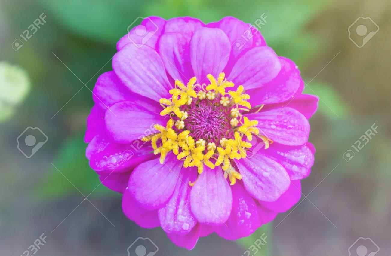 Beautiful Fresh Single Pink Flower Zinnia On Soft Colour Nature