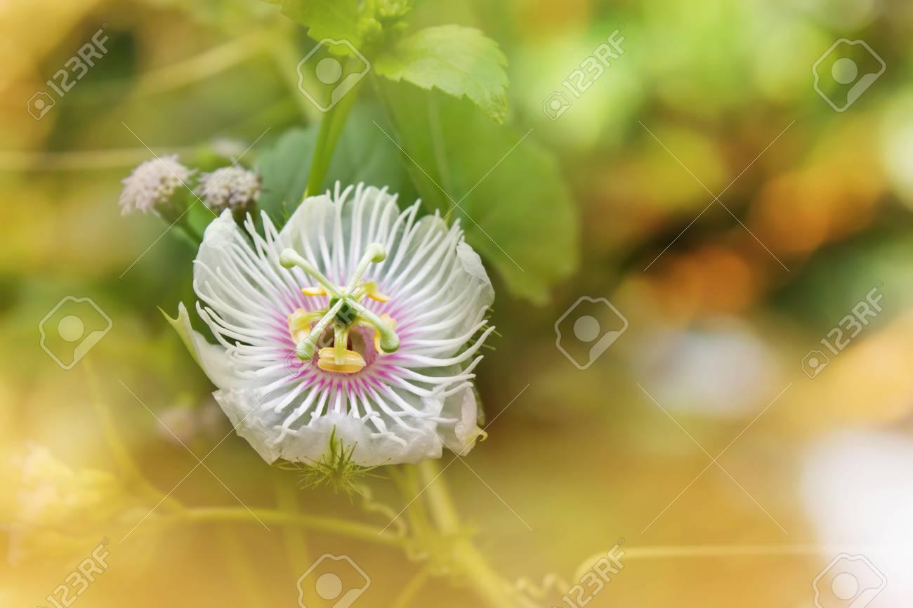 Romantic Nature Wild Grass Flowerpassiflora Gentle White Petal