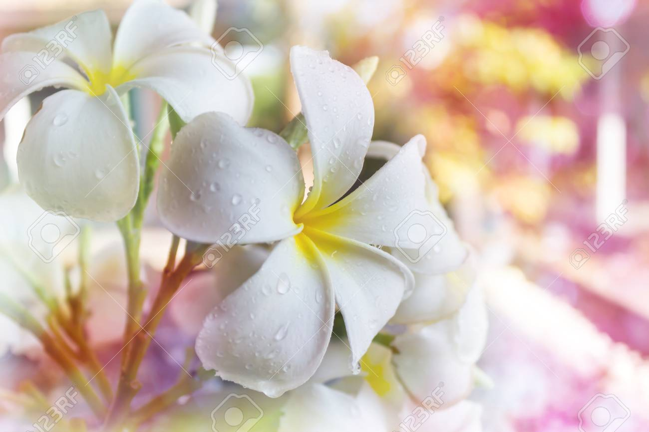 Big White Flower Frangipani Or Plumeria With Water Drop In Dreamy