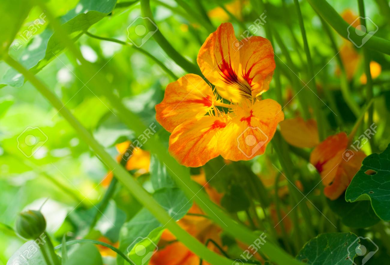 Enregistrer L'image Télécharger L Nasturtium Orange Et Fleur Jaune Avec Des  Feuilles éclairées Par La Lumière Du Soleil Banque D'Images Et Photos  Libres De Droits. Image 62483520.
