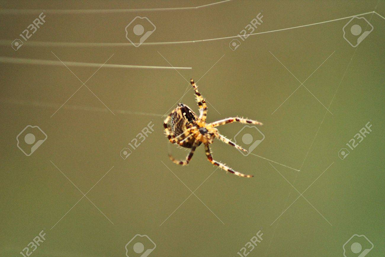 A Garden Spider Spinning A New Web Stock Photo, Picture And Royalty ...