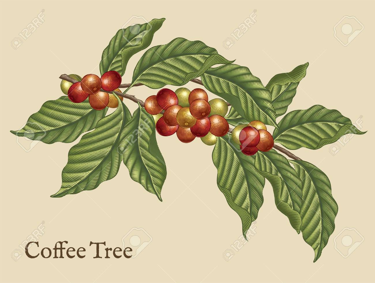 Coffee tree elements, retro coffee plants in etching shading style with color - 95737713