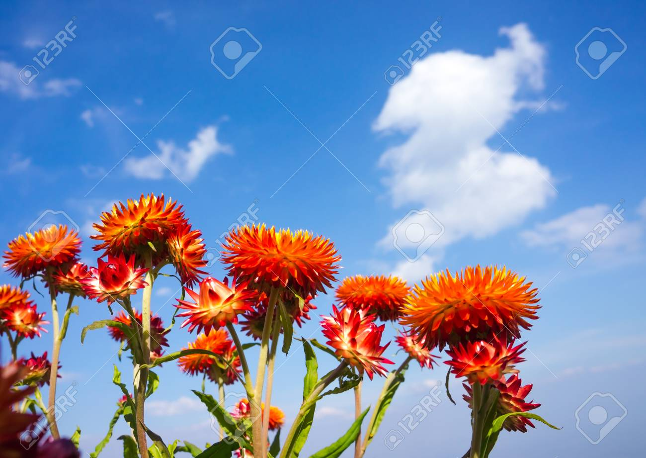 View from below of beautiful bouquet of colorful dry straw flowers stock photo view from below of beautiful bouquet of colorful dry straw flowers or everlasting over blue sky with clouds outdoor at the daytime on summer izmirmasajfo