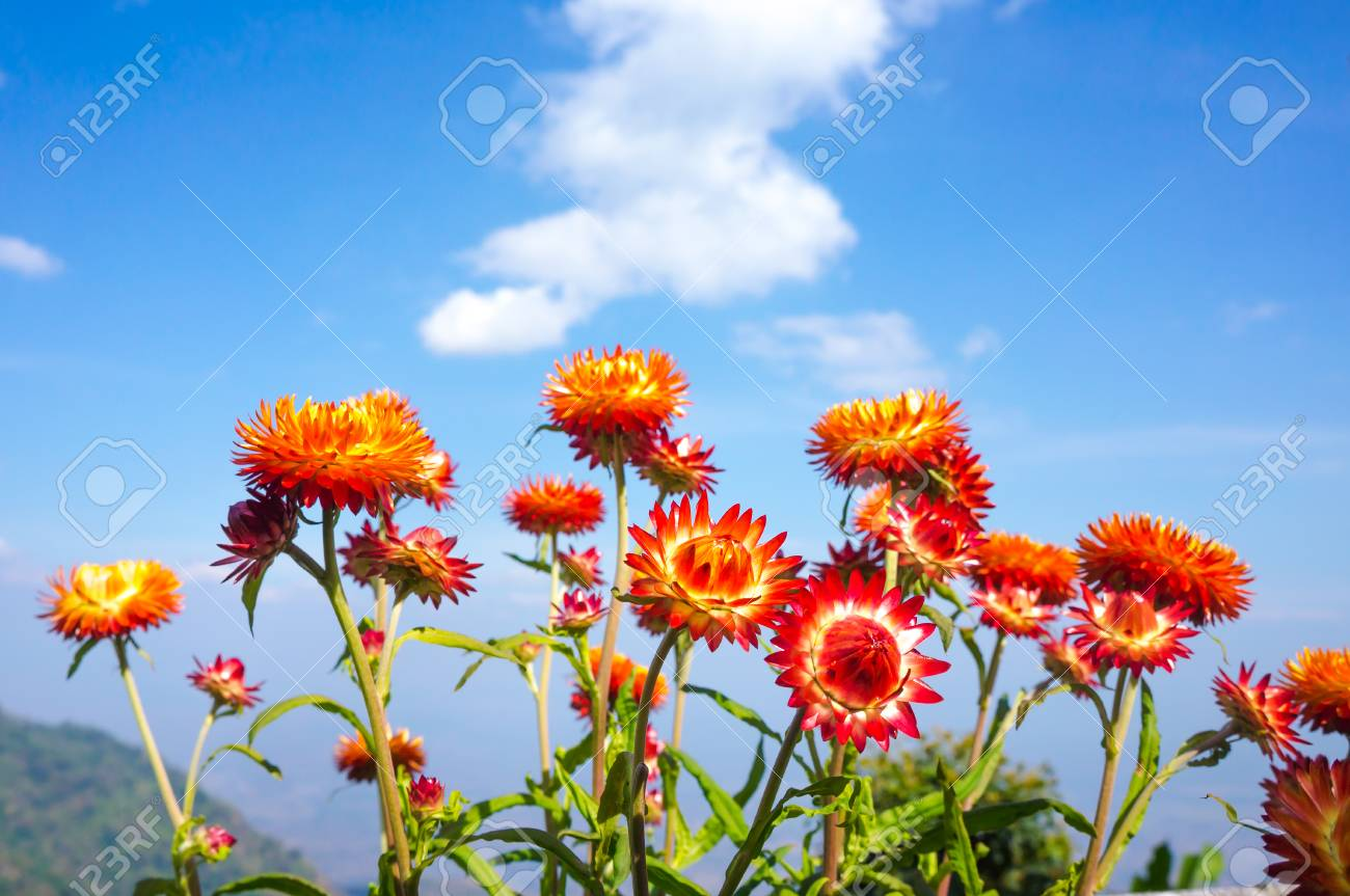 Beautiful bouquet of colorful dry straw flowers or everlasting beautiful bouquet of colorful dry straw flowers or everlasting over blue sky with clouds outdoor izmirmasajfo