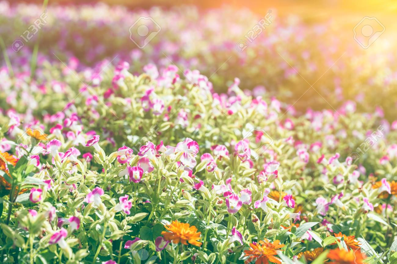 Colorful Field Of Pink Flower Blooming In Park On Blurred Nature
