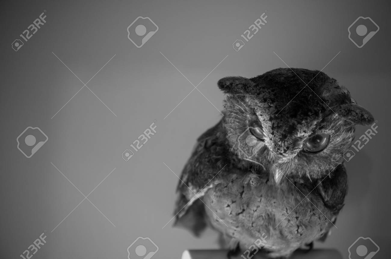 Beautiful staff owl with copy space black and white picture style stock photo