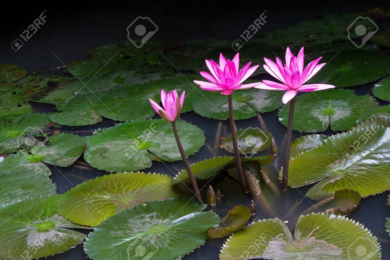 Beautiful Pink Lotus Flower That Grows On A Lotus Leaf In Water