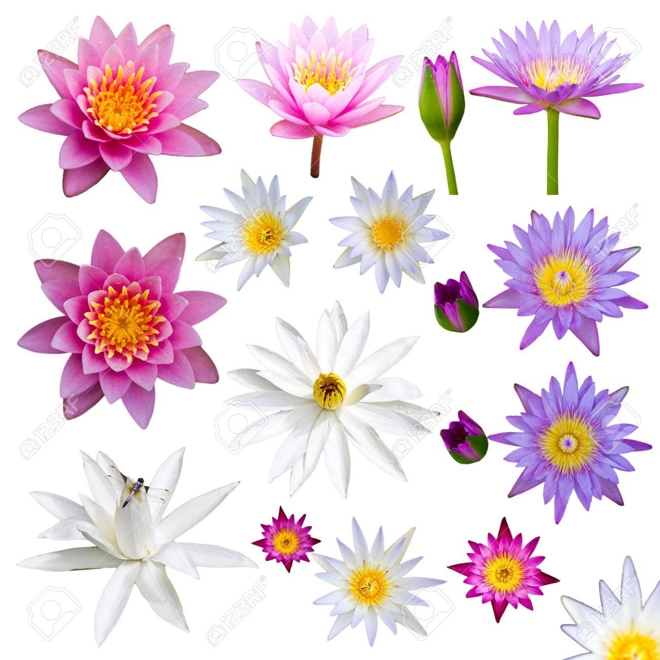 Isolate many lotus flowers with small colorful flowers, a variety of perspectives Stock Photo - 16484723